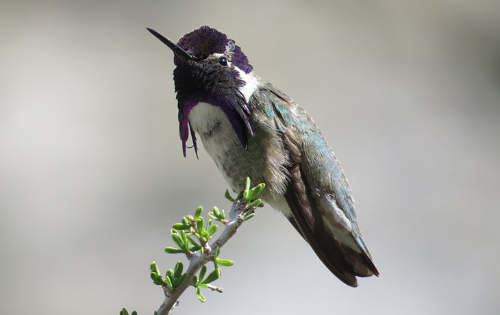 Photo of a Costa's hummingbird.