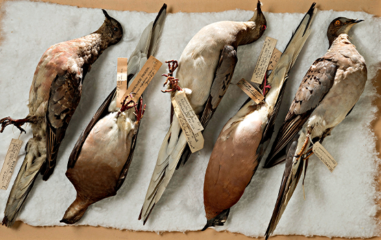 Five preserved birds on table
