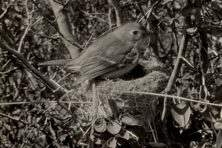 A dusky flycatcher bird photographed in 1925