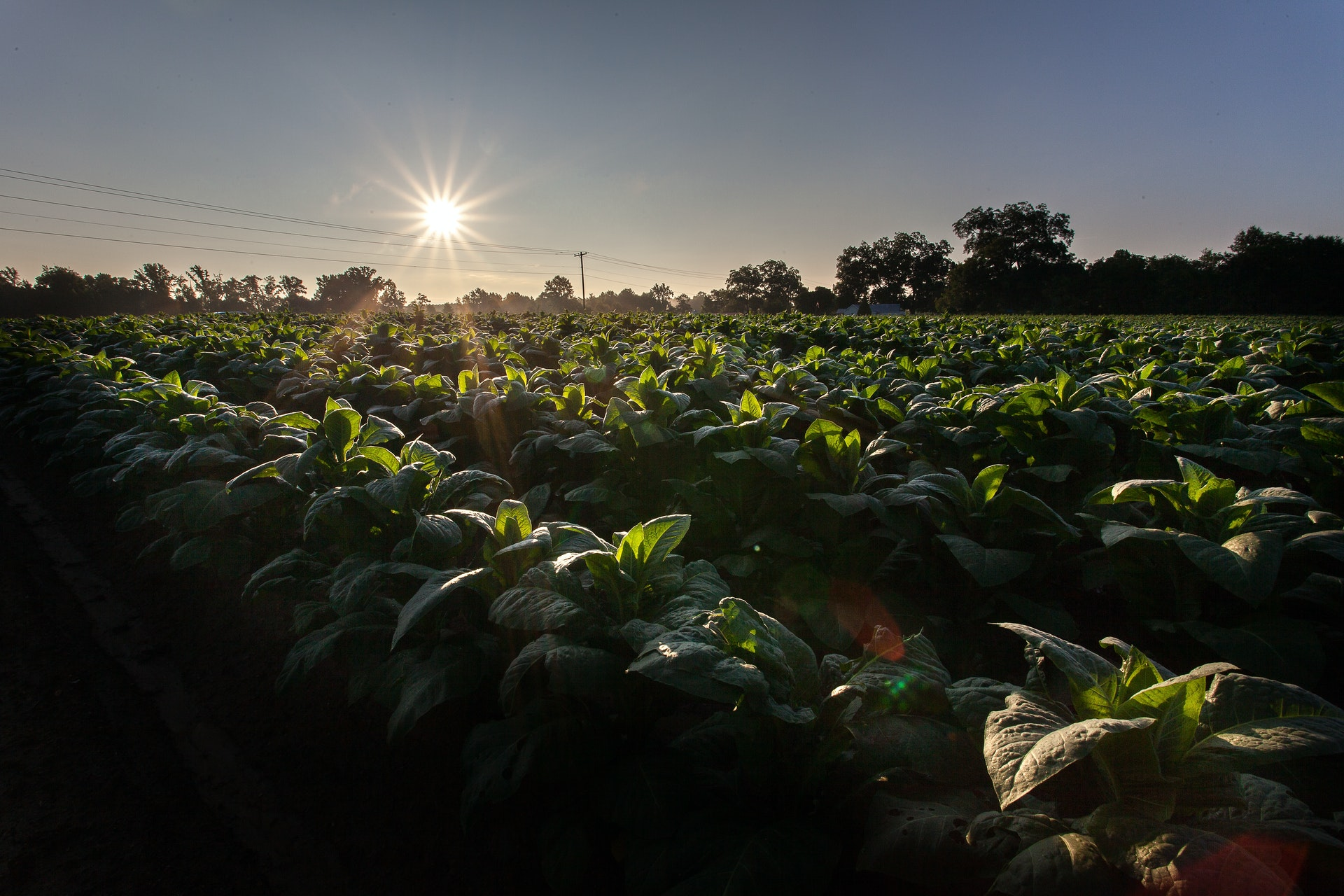 Photo of vegetables being grown on a farm.