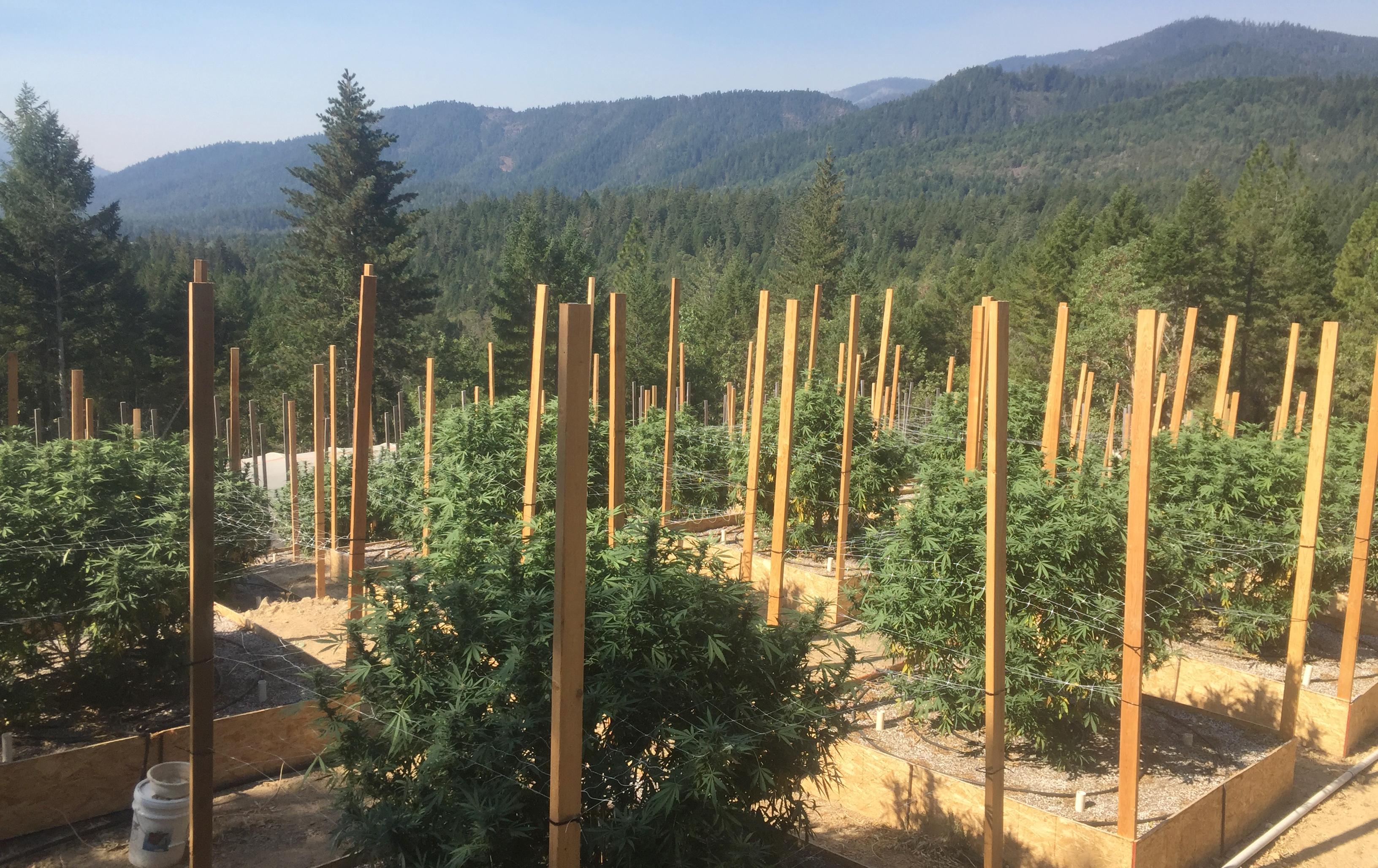 A group of marijuana plants on a marijuana farm.
