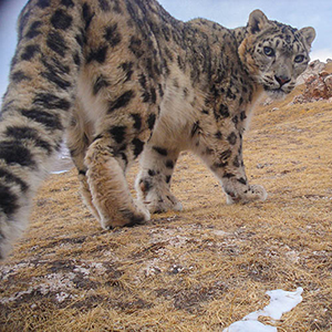 A snow leopard in China