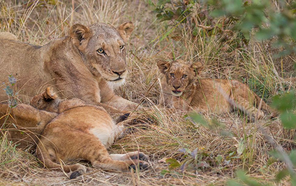 Photo of a group of lions.