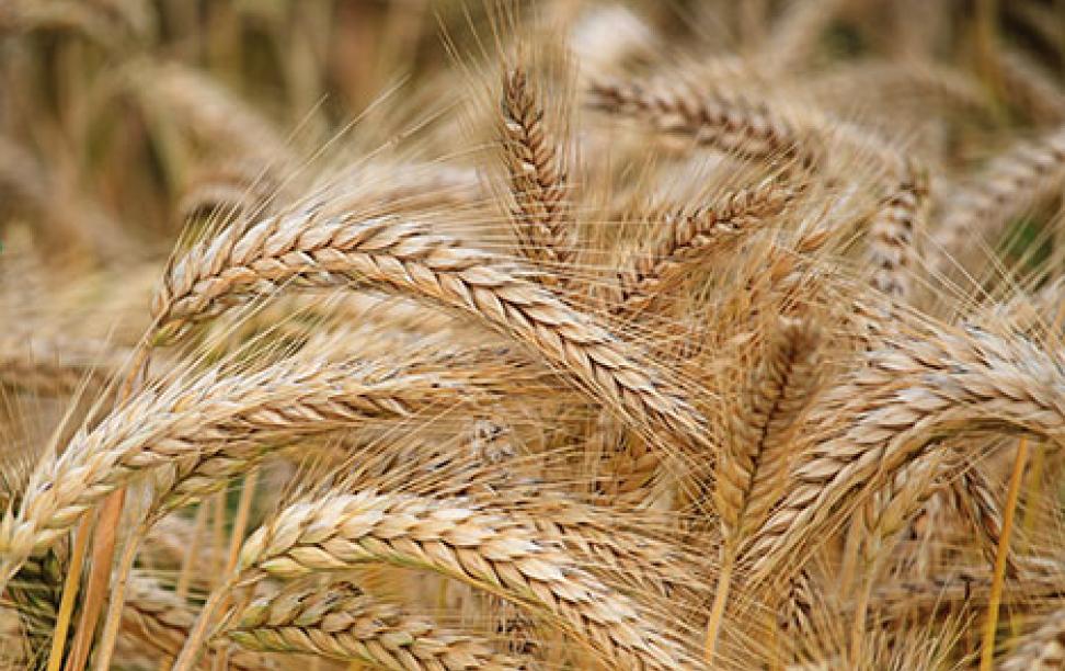 Photo of grain.