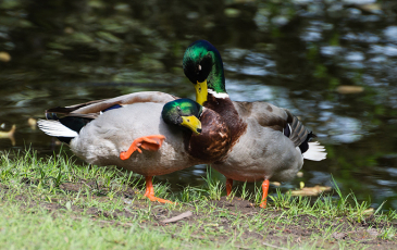 Two male mallard ducks by a pond