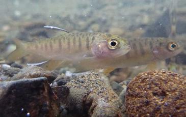 Juvenile coho salmon