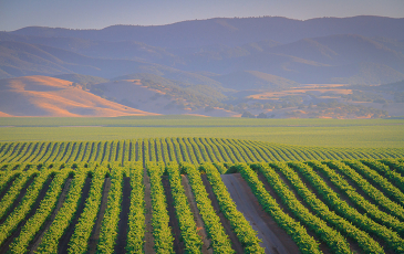 Photo of Central Coast vineyards.