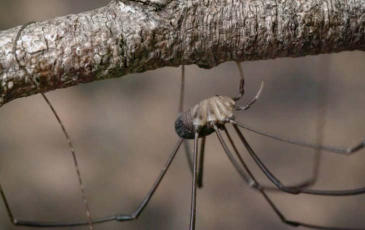 A Daddy Long leg up close. Photo by Josh Cassidy/KQED