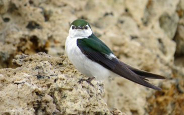 Violet-green swallow (bird with white chest and green wings with brown tips) standing on a rock.