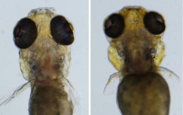 Figure of zebrafish used in experimentation