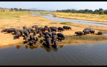 A herd of hippos gathers in a river.