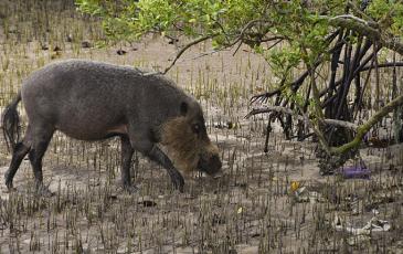A wild pig foraging