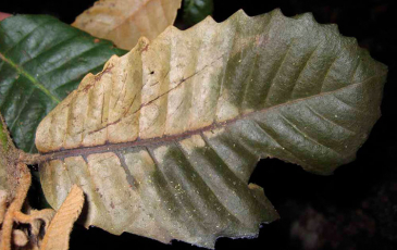 An infected leaf from an oak tree