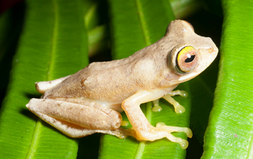 Photo of a frog species native to the Philippines.