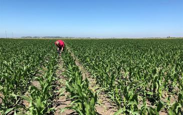 tilling a corn field