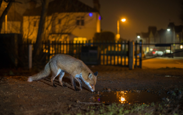 Fox drinking water in an urban area at night, surrounded by houses.