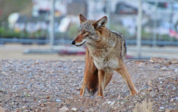 Coyote in city.