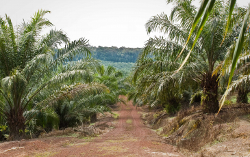 An oil palm field in Malaysia