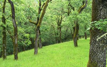 An oak grove at Pepperwood Preserve