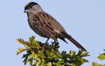 Golden-Crowned Sparrow,