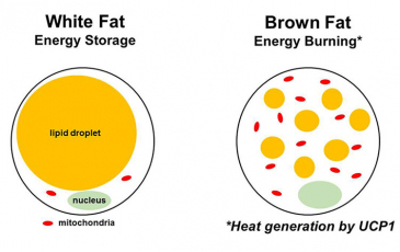 Brown fat and white fat