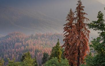 Dead sugar pine trees
