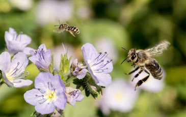Bee flying towards a flower
