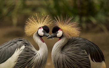 Photo of two grey crowned cranes.