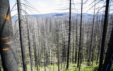 Burnt forest landscape from 2014 King Fire