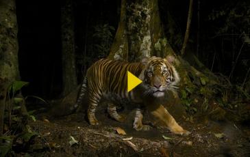 Image of a sumatran tiger