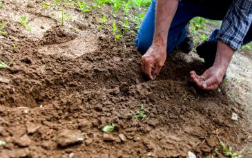 Farmer planting something in soil.