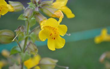 A monkeyflower plant.