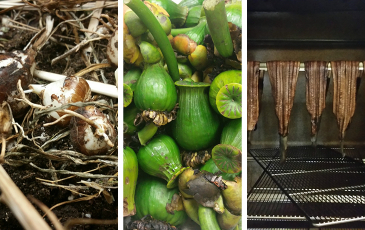 three images side-by-side of harvested camas root, wocus pods, and Yurok eels