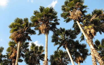 Palm trees in front of the skyscape
