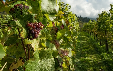 Vineyard with closeup on grapes
