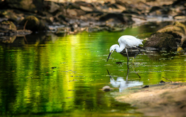 An egret in a stream