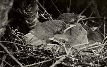 1921 photo of scrubjays