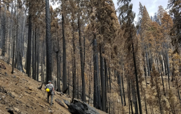 a scientist looking at a grove of burned giant sequoia trees