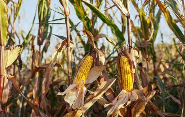 Corn plant in a field