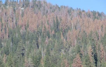 dead sierra trees