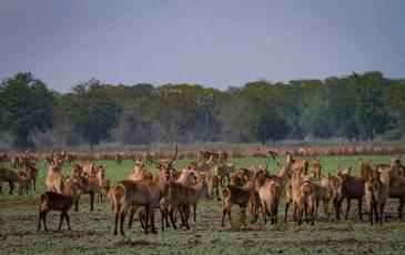 Waterbuck antelope in Gorongosa National Park