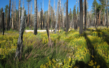 Severe fire cleared an area of forest in the Illilouette Creek basin in Yosemite National Park.