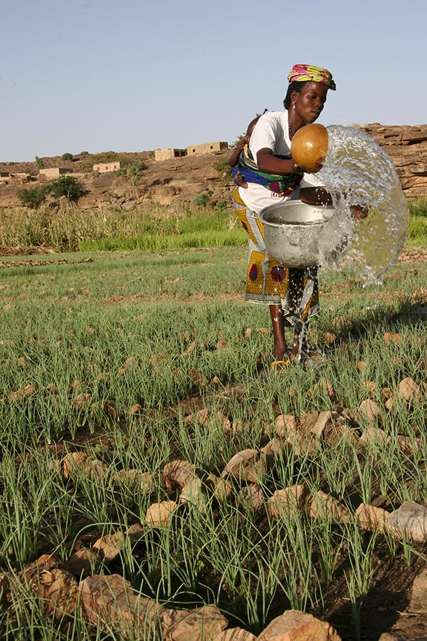 A Dogon woman in Mali waters her onion garden