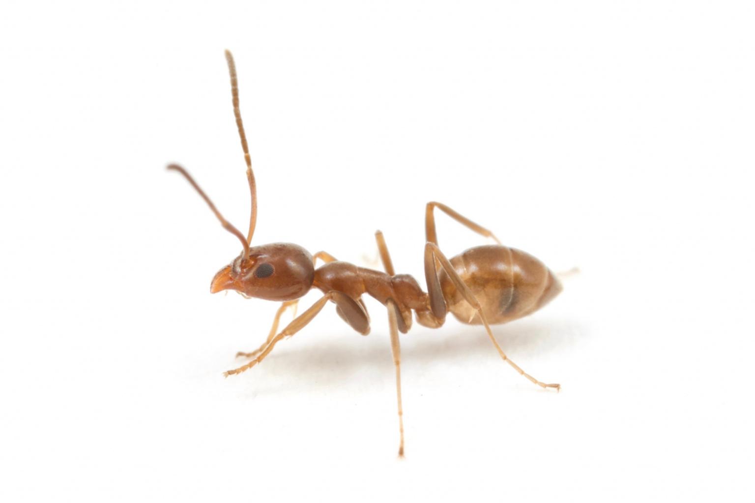 Argentine ant worker