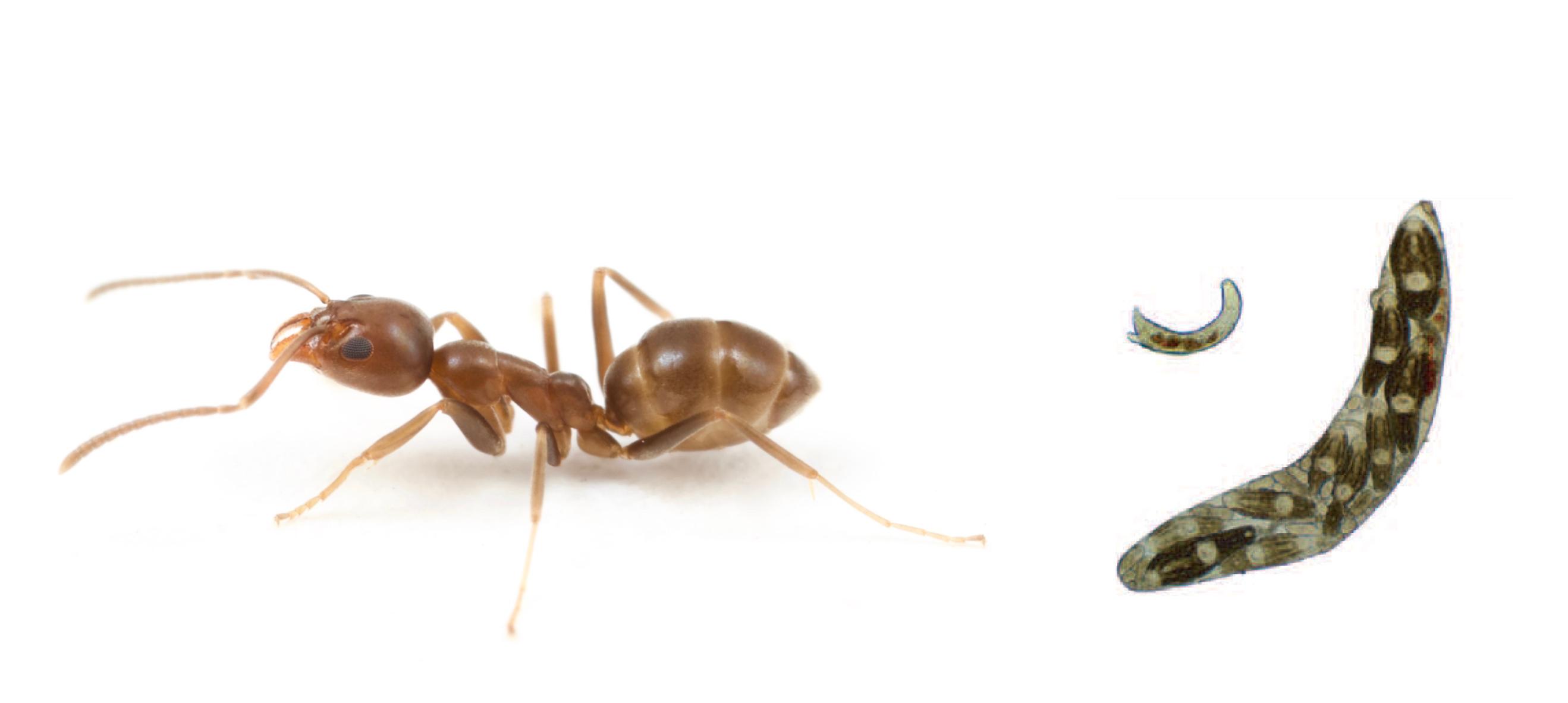 Ants & trematodes