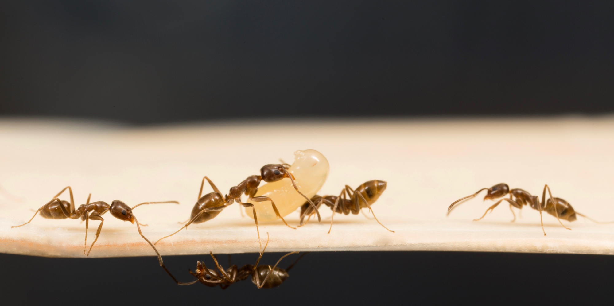 Argentine ants moving brood