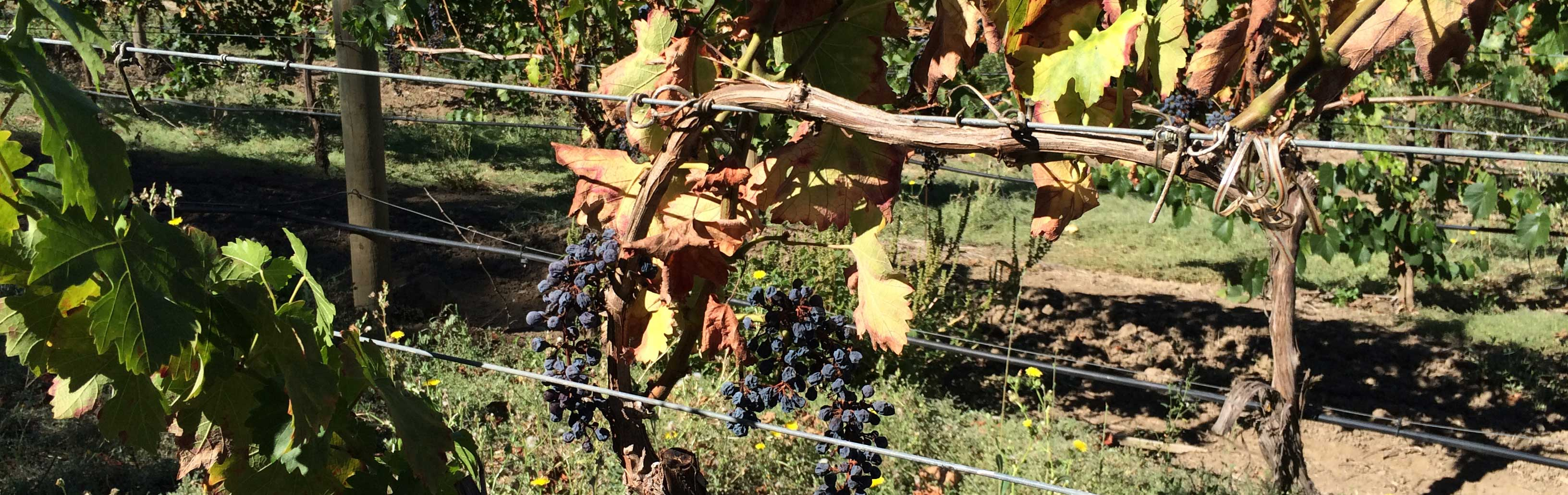 Grapevine disease symptoms in California