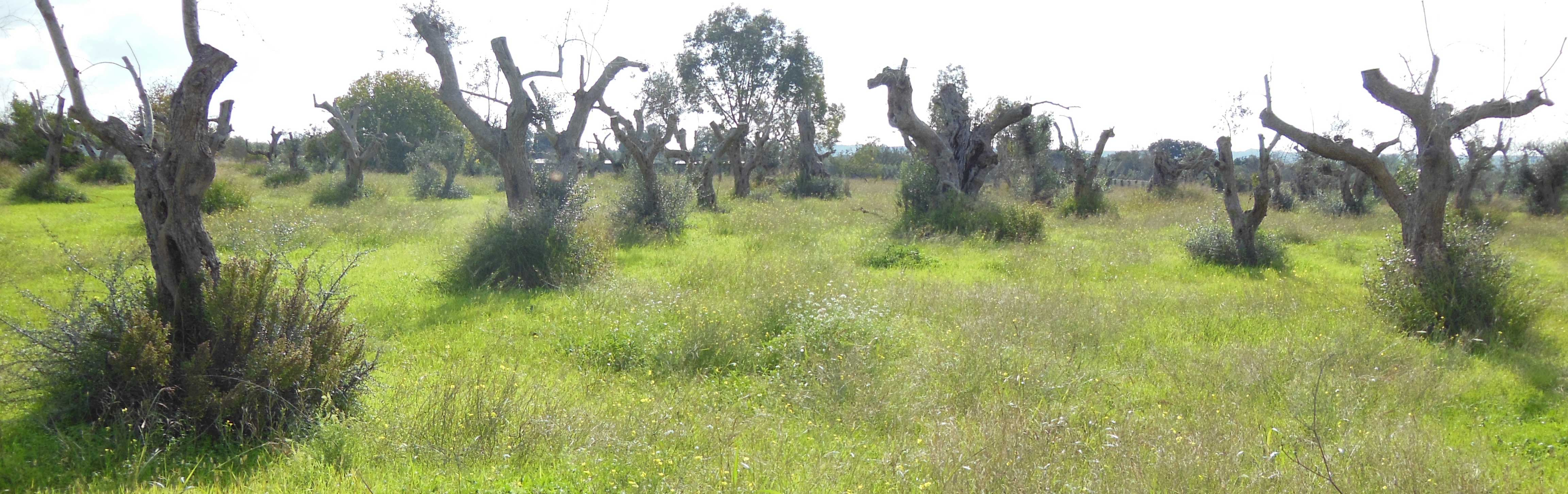 Olive trees in Apulia, Italy, after failed attempts to remove X. fastidiosa by pruning symptomatic branches.