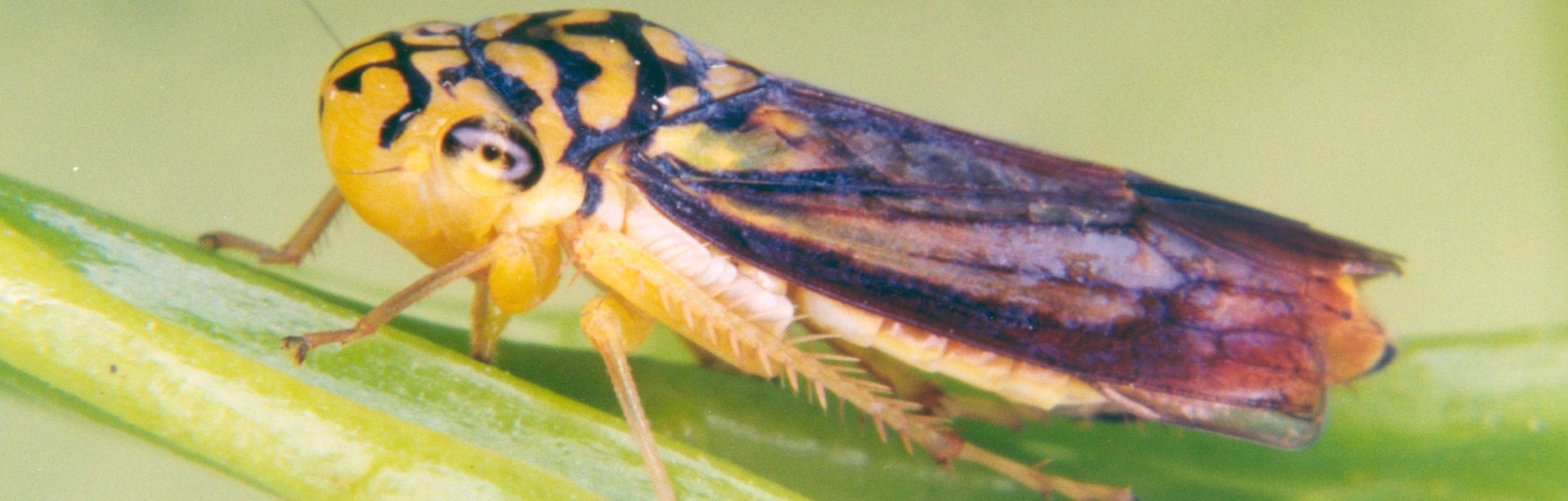 Dilobopterus costalimai, a vector of X. fastidiosa in Brazil