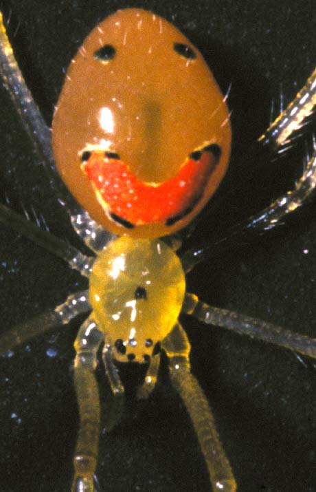 Evolution of color polymorphism in the Hawaiian Happy face spider.